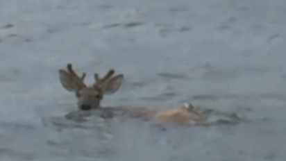 deer feature 412x232.png - Fishermen Rescued A Struggling Deer In The Ocean Six Miles Away From The Shore