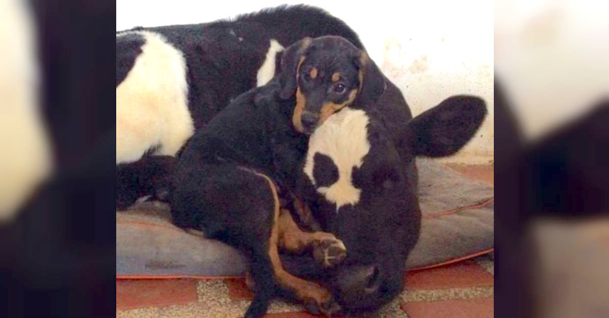 dogcow.jpg - Abandoned Puppy And Veal Calf Formed Inseparable Bond And Overcame Their Sad Pasts