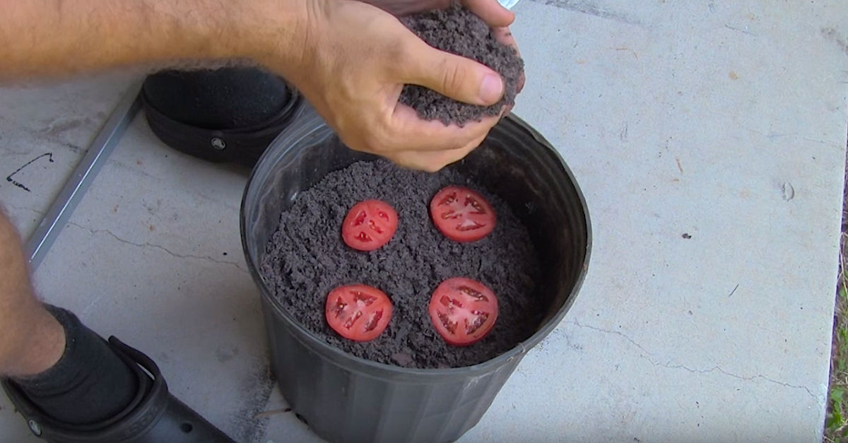 http cdn7.littlethings.comappuploads201603plant.jpg - Man Placed Four Tomato Slices In A Bucket Of Dirt And Revealed How New Plants Grew After Two Weeks