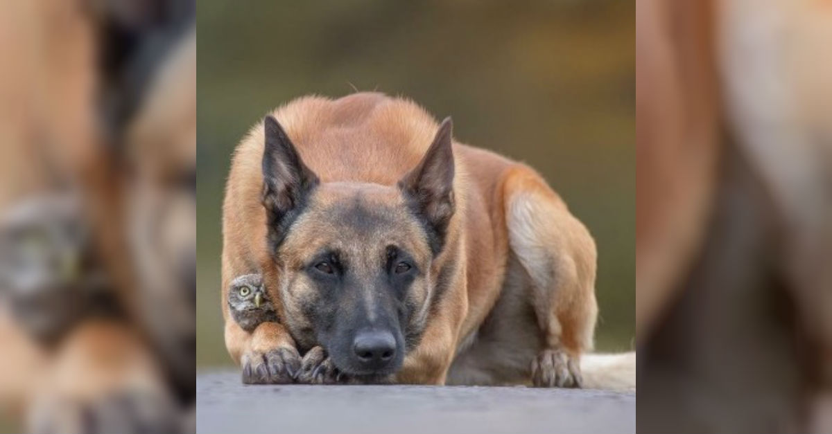 owl1.jpg - Tiny Owl And Giant Shepherd Have A Strong Friendship That Will Definitely Last