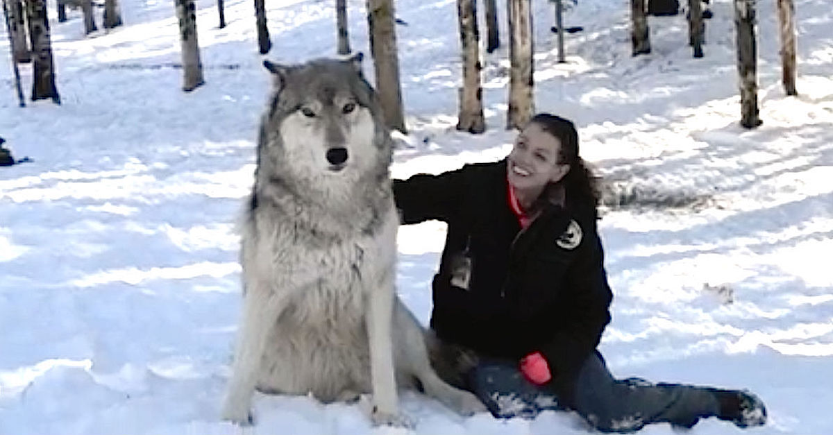wolf2.jpg - Brave, Lucky Woman Is Best Friends With A Pack Of Giant Wolves