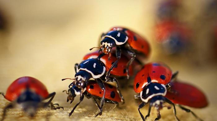 ladybugs live b1b1fafb15fc120c.jpg - Owner Opened His Dog's Mouth And Saw Many Asian Lady Beetles Hiding Inside