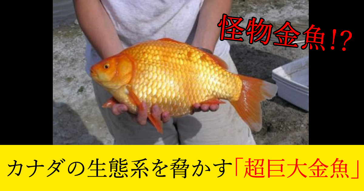 88 3 2.jpg - カナダの生態系を脅かす「超巨大金魚」