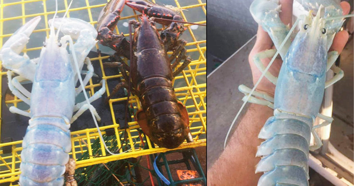 langosta.jpg - Insólita criatura es capturada en el mar
