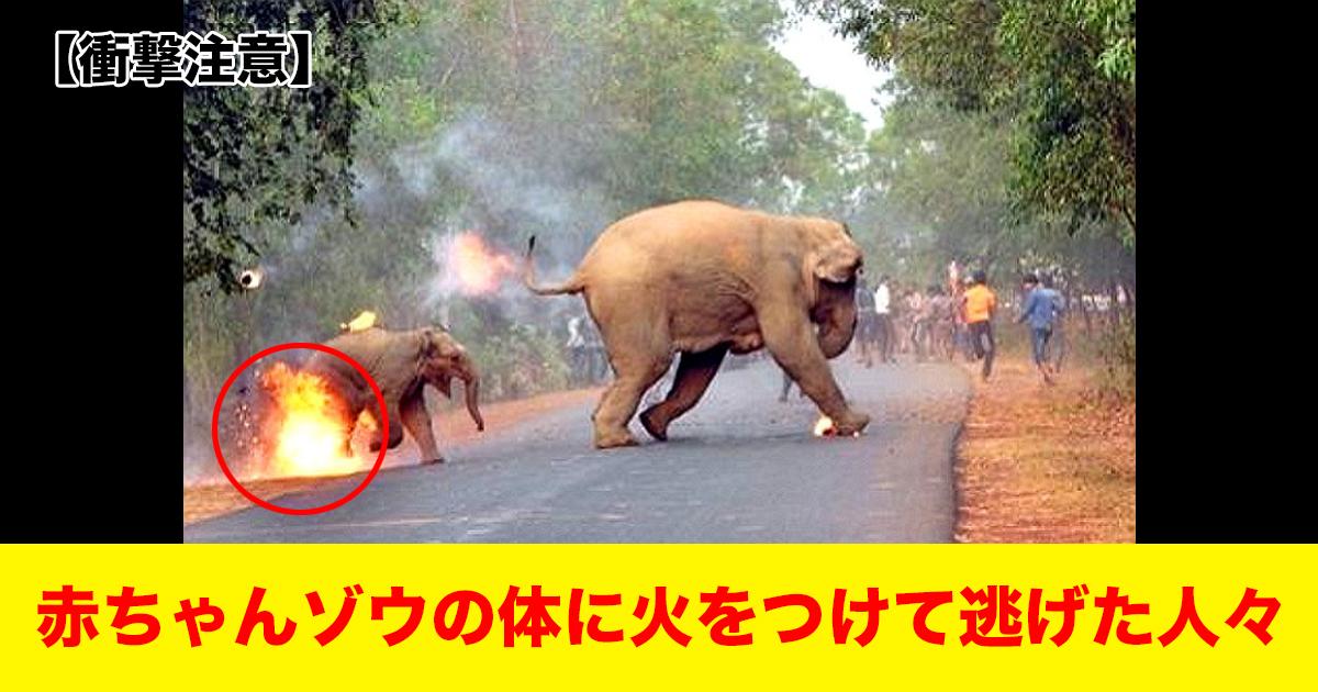 88 114.jpg - 【衝撃注意】 赤ちゃんゾウの体に火をつけて逃げた人々