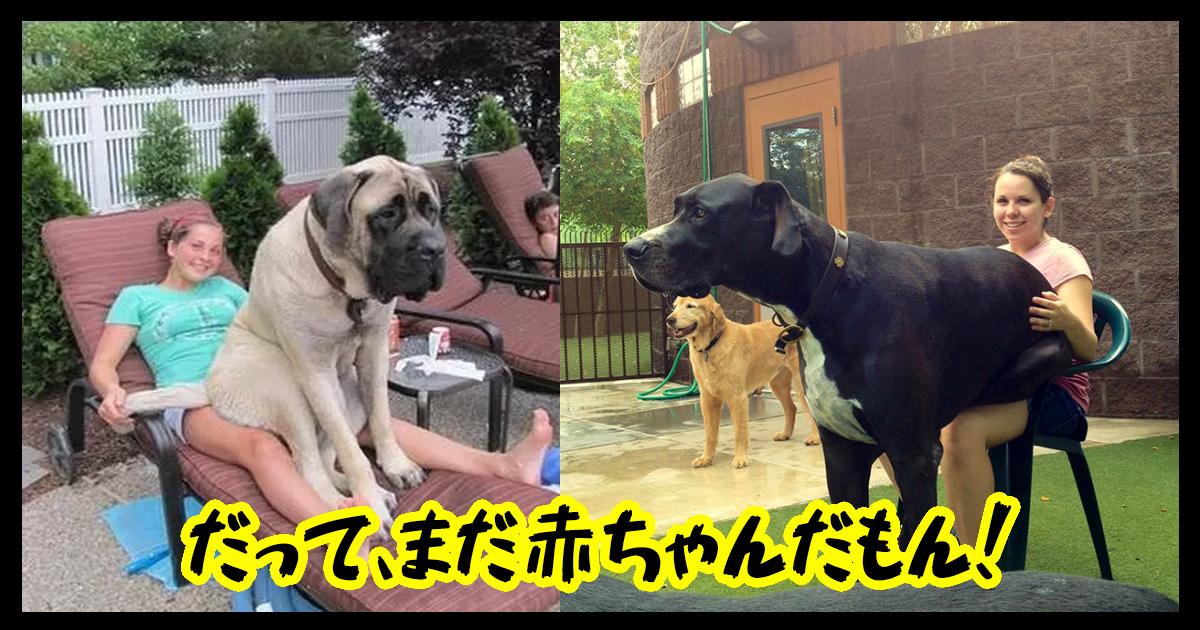 dogsbaby ttl.jpg - 【胸キュン必見】大きな姿に成長しても甘えたいワンちゃん!
