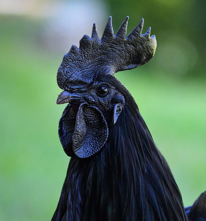 """goth black chicken ayam cemani 20.jpg - This Rare """"Goth Chicken"""" Is 100%, Not Just Its Outside But Its Inside As Well!"""