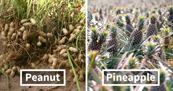 how food grow fb  700 png.jpg - 10 Astonishing Pictures That Show How Crops Are Different From Before Its Harvest