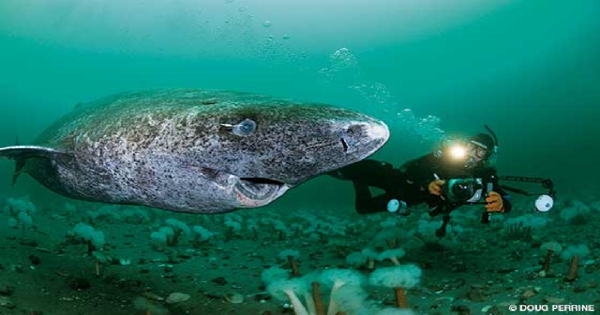 thumbnail sharkkkkkk.png - World's Oldest Captured Living Shark Believed To Be Over 400 Years Old