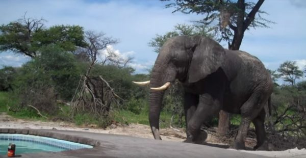 elephant.jpg - Elephant Crashes A Family's Pool Party In Africa