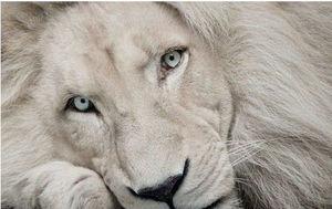 アルビノ ライオン에 대한 이미지 검색결과