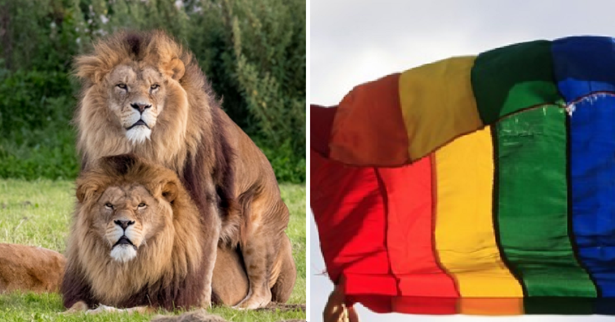 ec8db8eb84ac4 2 1.png - Two Male Lions Caught On Camera Being A Little More Than Just Friends