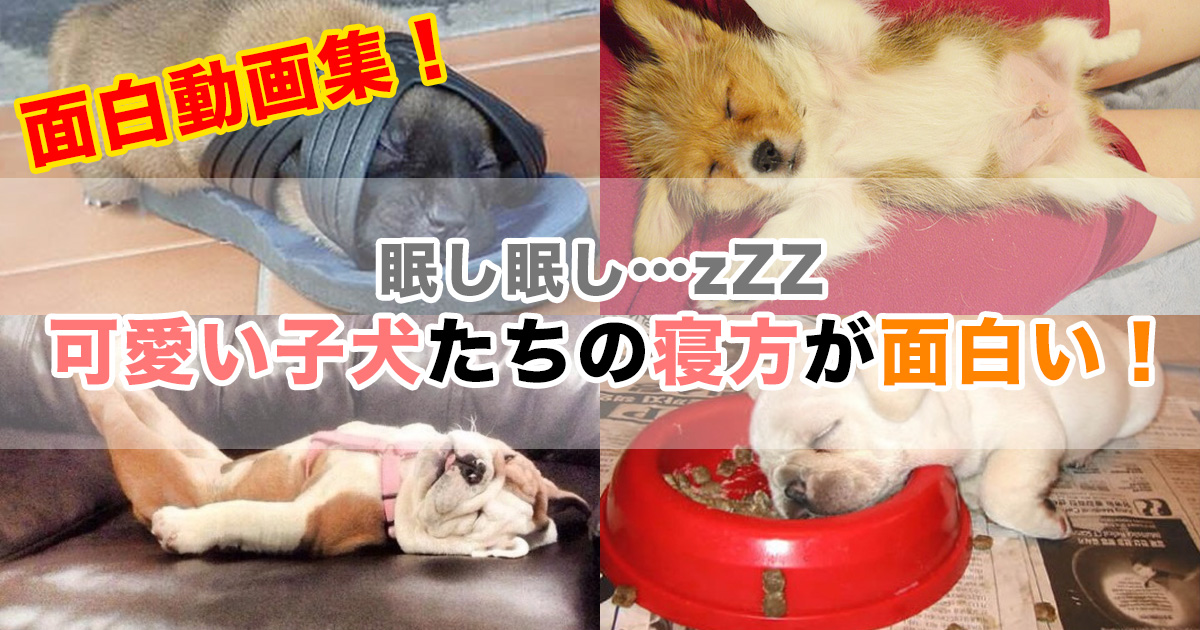 jw surugi 8.jpg - 【面白動画集】 眠し眠し…zZZ 可愛い子犬たちの寝方が面白い!
