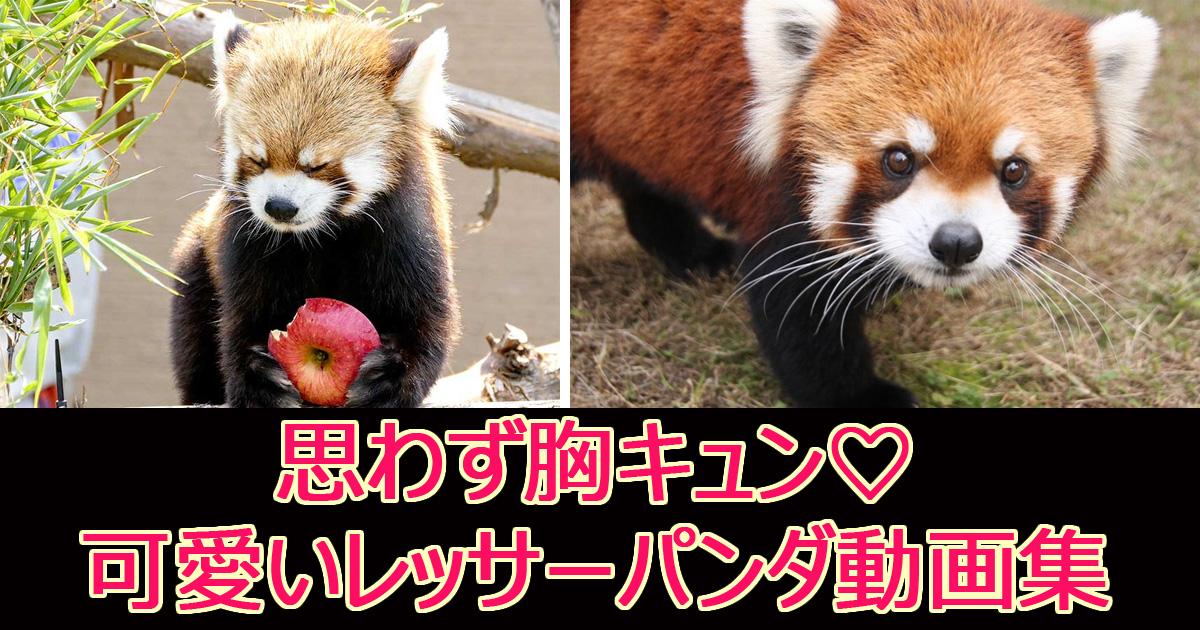 ressapandadouga.jpg - 【胸キュン注意】可愛すぎ!レッサーパンダの可愛い動画集