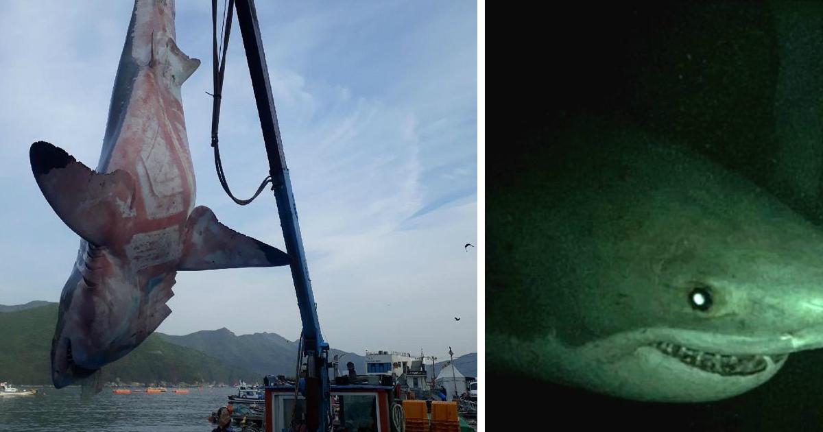 1 54.jpg - '한국 바닷가에서 식인상어' 백상아리가 잇따라 '출몰'한다