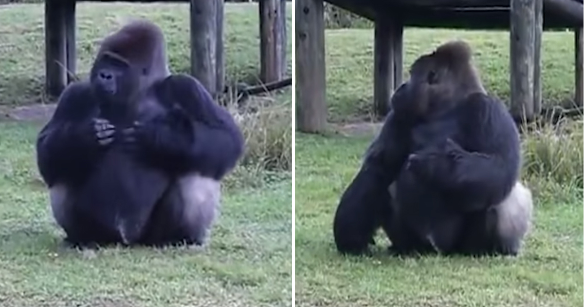 not looking.jpg - Gorilla Used Sign Language To Tell People He's Not Allowed To Be Fed When The Trainer Was Looking