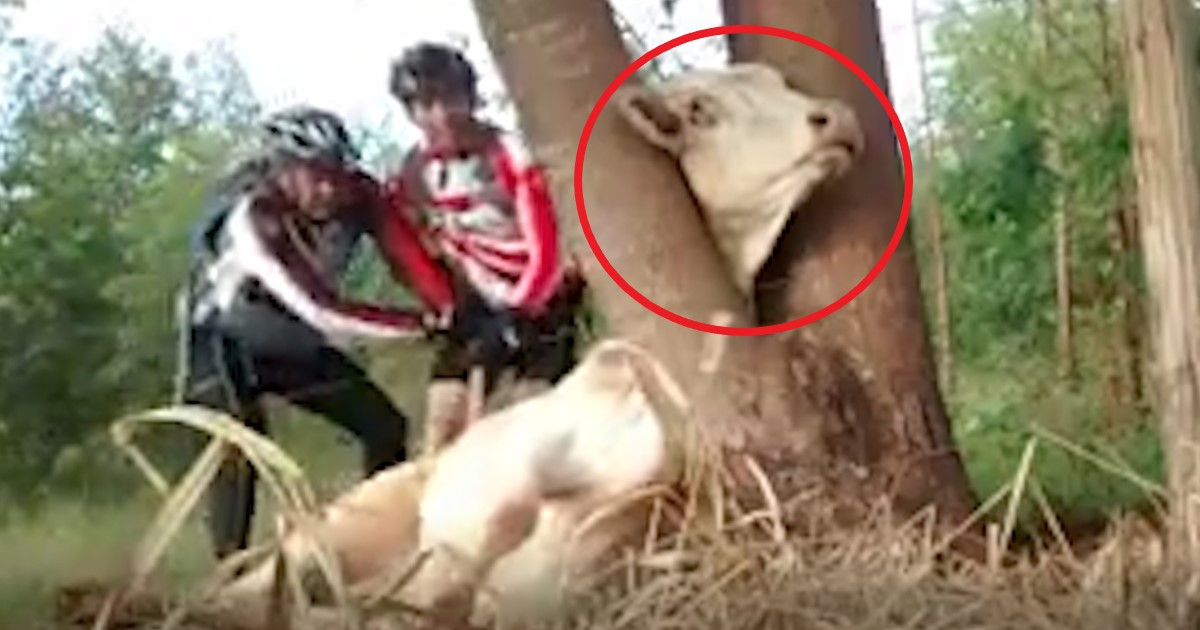 pic copy 9.jpg - Brave Cyclists Rescued A Cow With Head Stuck In Tree