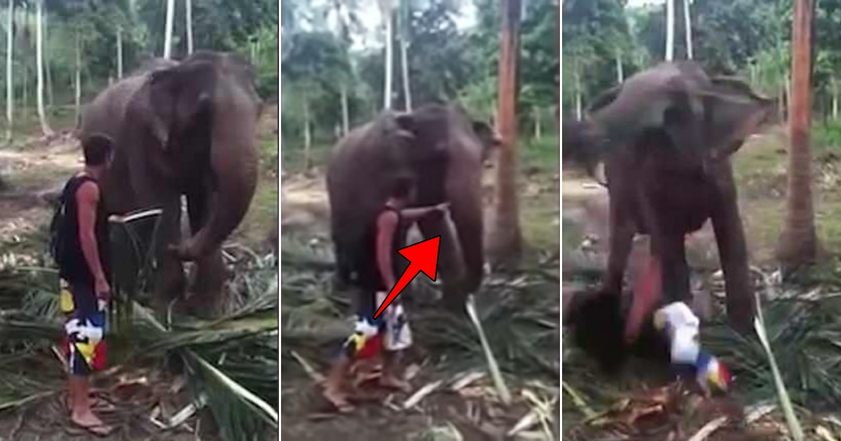 ele 1.jpg - Elephant Smashed Tourist To The Ground By Its Trunk When He Tried To Pet It