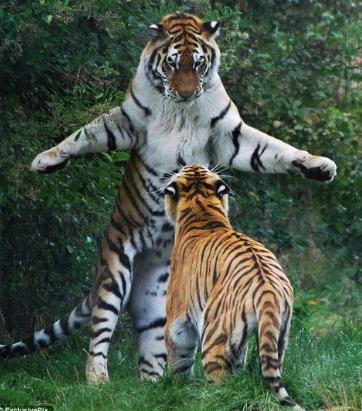 """太った猫のよう!?ブクブク太った""""中国のシベリア虎""""がヤバい…。まるで太った猫!?シベリアトラの繁殖・保護の動物園巨大なネコとなったシベリアトラネットの反応は?まとめ"""