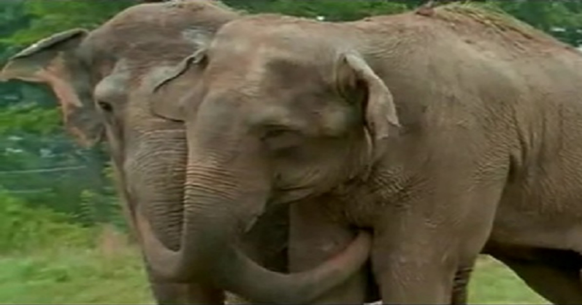 r5 1 2.jpg - Touching Reunion Of Two Former Circus Elephants Who Got Separated 20 Years Ago