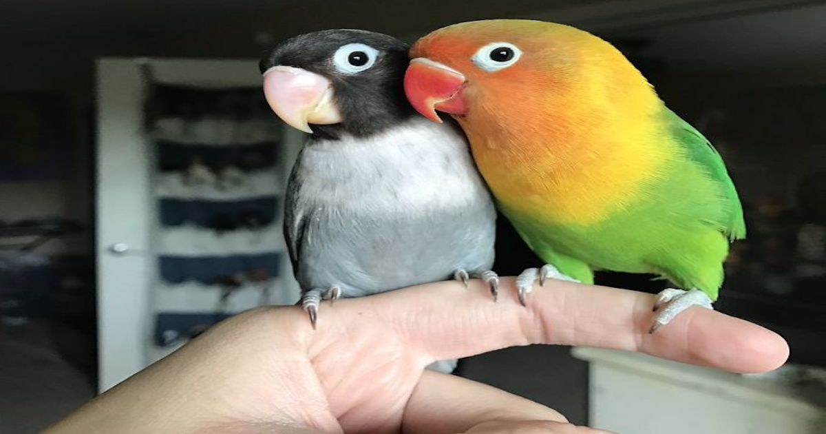 the internet fell in love with the story of the parakeet and his gothic girlfriend not to mention the children who came after wonderful 5b4d92b210dc1  700.jpg - Kiwi And His Goth Girlfriend Just Had 4 Babies And Internet Is In Love