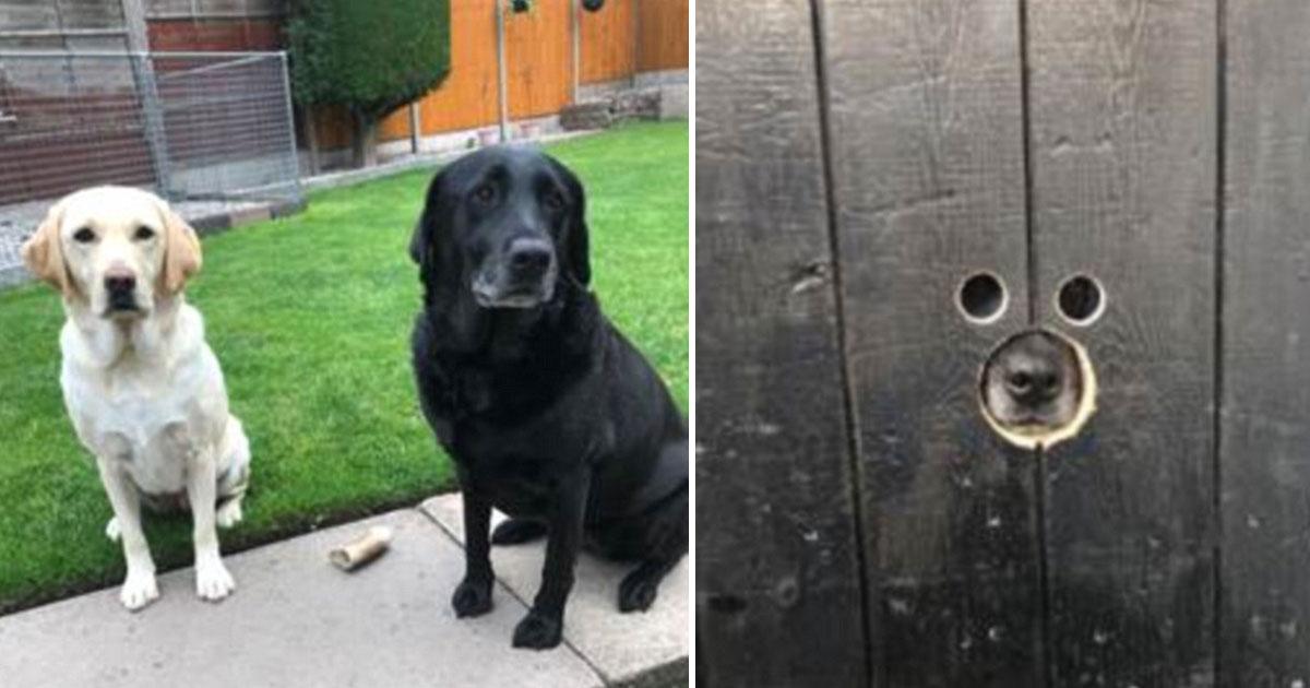 nosey dogs.jpg - Cette vidéo de deux labradors fouineurs profitant des nouveaux trous dans la porte du jardin et espionnant leurs voisins N'A PAS DE PRIX