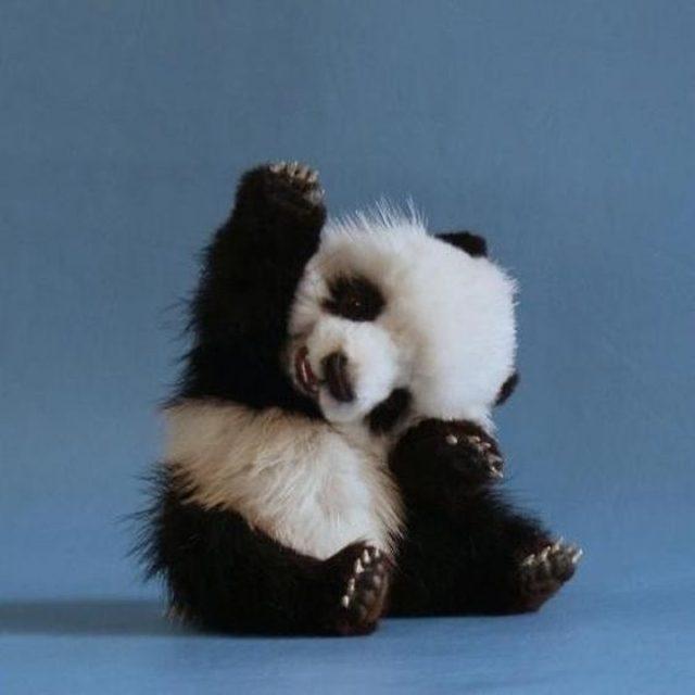 Fat baby panda