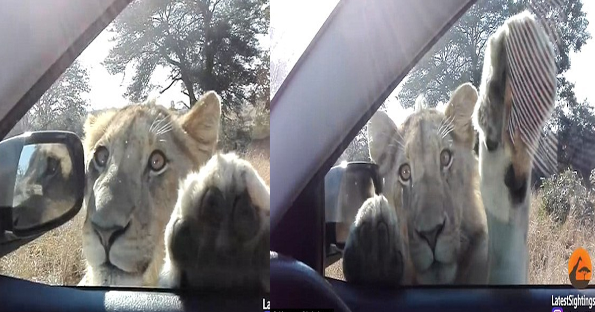 gg.jpg - Video Recorded In The Kruger National Park In South Africa Shows Playful Side Of A Young Lion