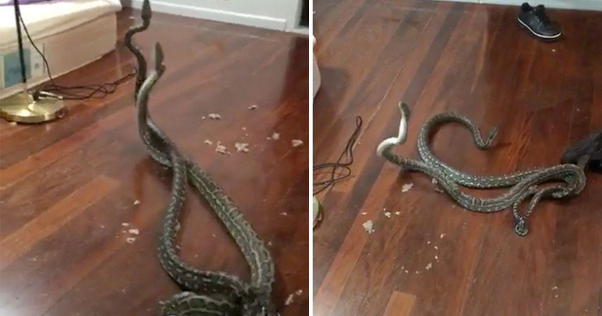 haha 1.jpg - Momento aterrorizante: duas cobras caem do teto e vão parar no quarto de uma família