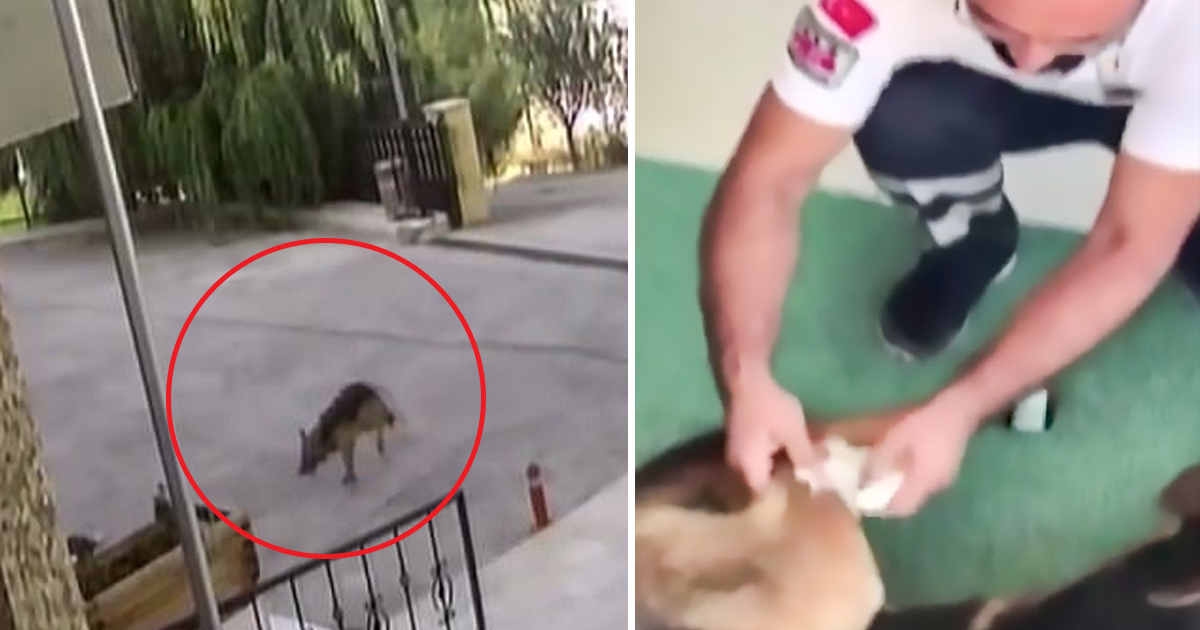 hddg.jpg - Dog Went To Hospital On Its Own After Getting Injured From An Attack By A Group Of Stray Dogs