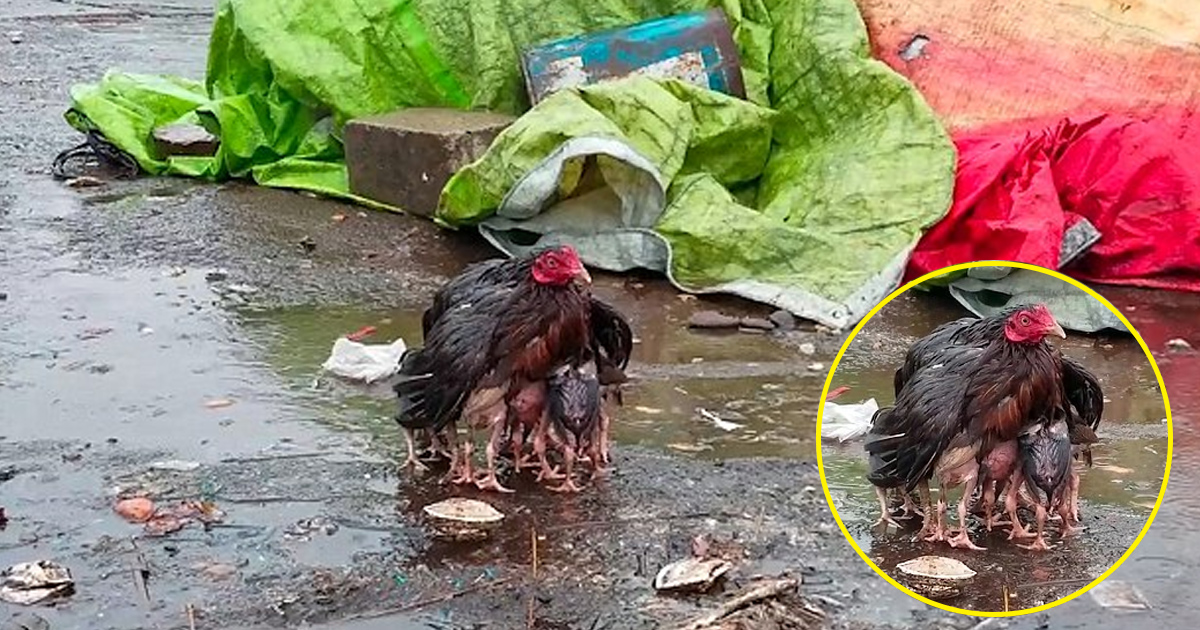 hhhh.jpg - Mother Hen Was Seen Protecting Her Chicks From Heavy Rain