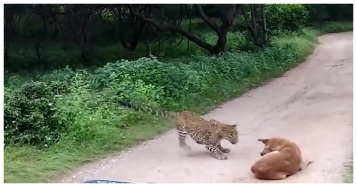 leopard.jpg - Cachorro enfrenta de igual para igual um leopardo que tentou atacá-lo em safari indiano