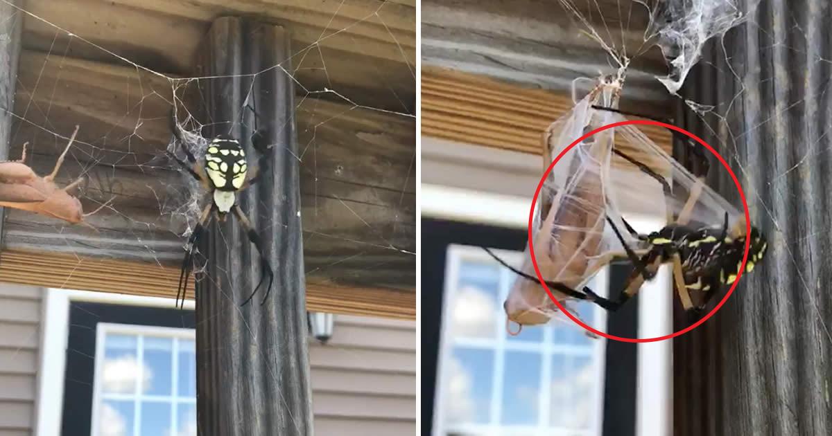 vgddd.jpg - Homem oferece gafanhoto a aranha gigante que rapidamente entra em ação