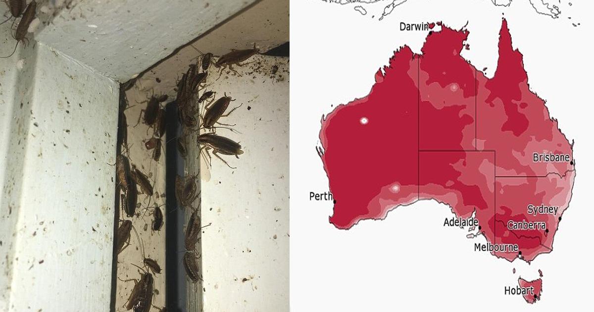 vgss.jpg - Austrália está alertando moradores sobre uma peste de baratas. Não nas ruas, mas nas residências.