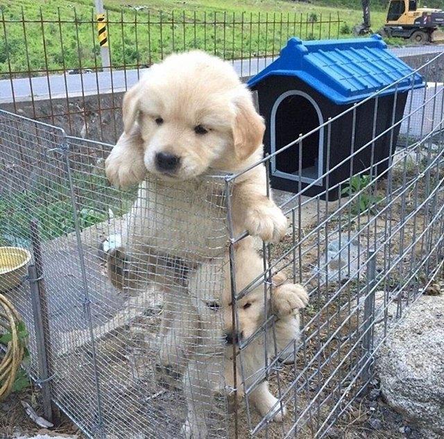 Golden retriever puppies attempting to escape mesh enclosure.