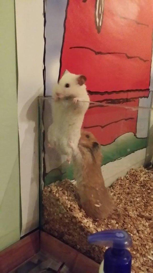 Hamster boosting other hamster over the side of glass enclosure.