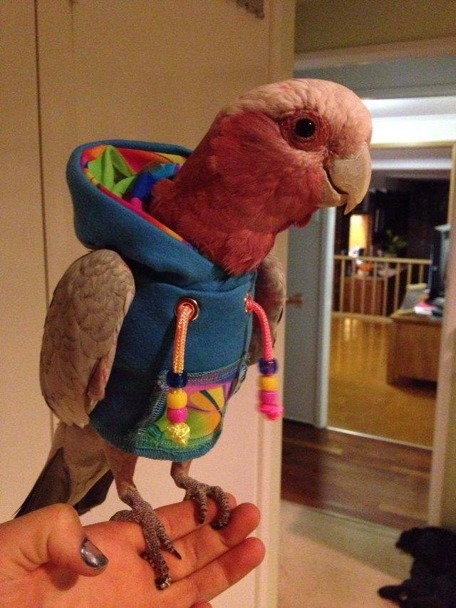 Parrot wearing a hooded sweatshirt.