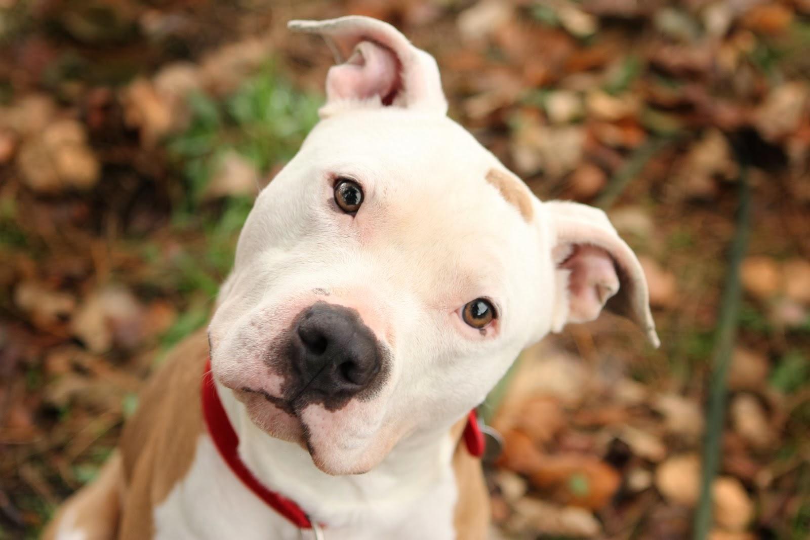 pitbull.jpg - Pitbull é uma das raças MENOS agressivas, diz estudo