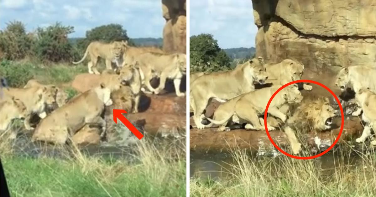 untitled design 1 4.png - Várias leoas atacam leão no Safari Park diante de turistas atordoados