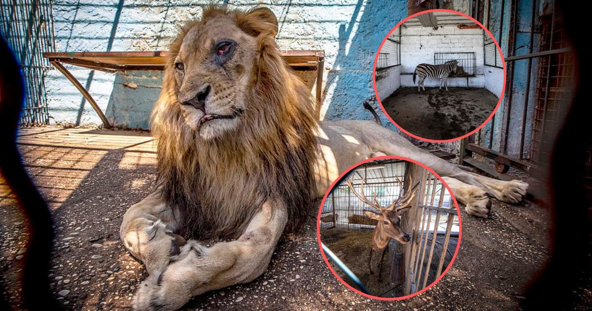 un lion avec de nombreux autres animaux est maltrait dans. Black Bedroom Furniture Sets. Home Design Ideas