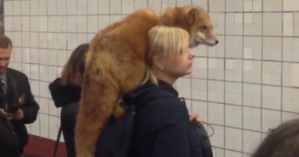 181124 103.jpg - 戰鬥民族就是狂!俄羅斯人帶上街的寵物是棕熊、狐狸和??