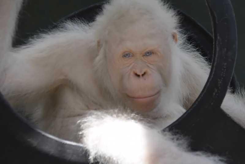 Resultado de imagen de orangutan albino