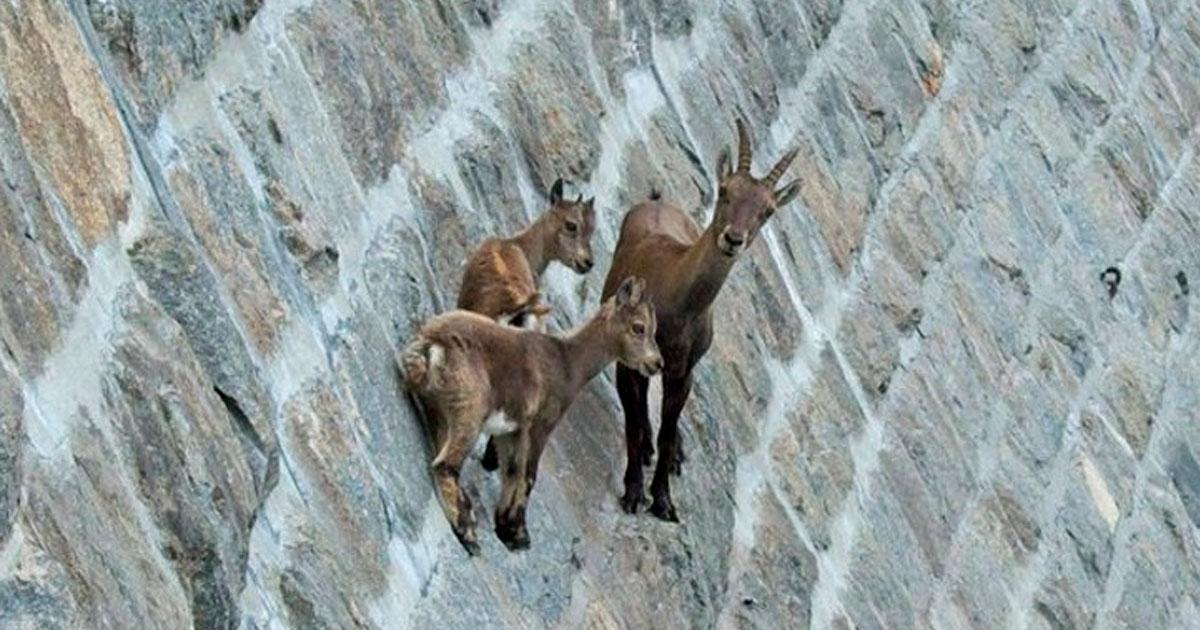 3 219.jpg - 20+ Fotos sorprendentes que muestran que las cabras pueden escalar cualquier cosa