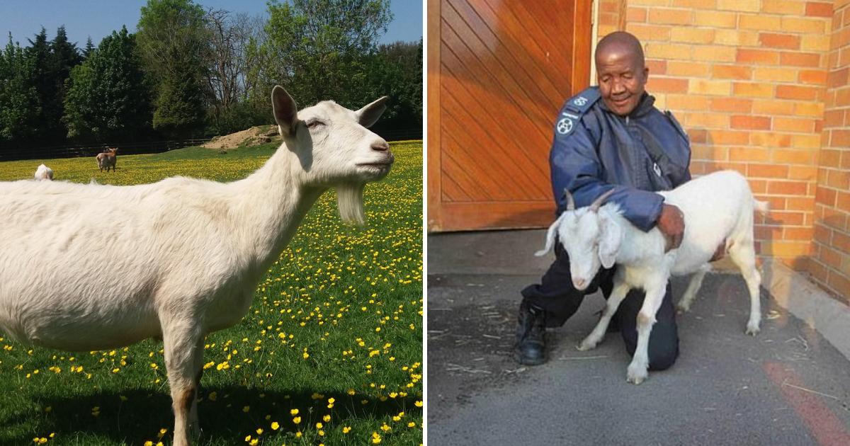 mcube5.png - Un homme est pris au lit avec une chèvre enceinte et est reconnu coupable de zoophilie