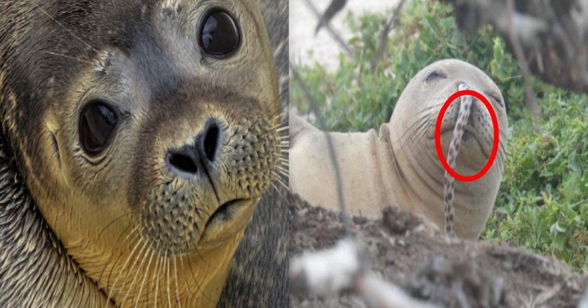 181211 301 1.jpg - 有海鰻鑽進海豹的鼻孔啦!!原來是夏威夷海豹新流行?海豹界常有的事?