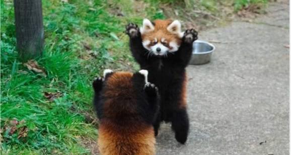 2943557 1.jpg - 小熊貓舉手投降裝萌...不不不他們是在打架啊!超可愛模樣網友笑瘋