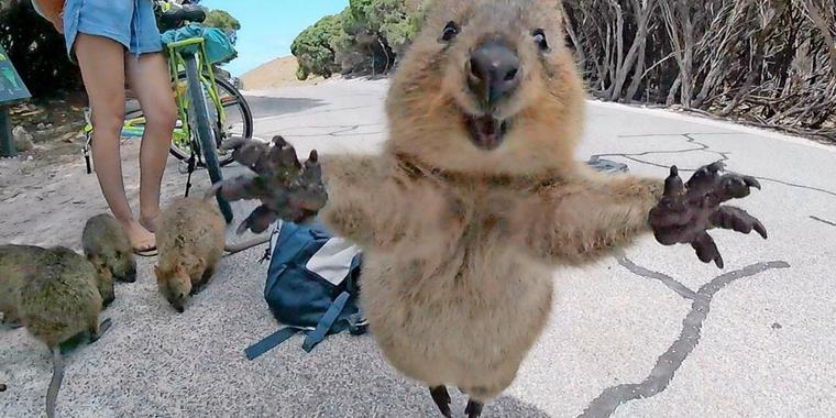 mann gelingt das wohl suesseste quokka foto big teaser article.jpg - 史上最上鏡的動物!「Quokka」短尾矮袋鼠超萌超可愛,超愛跟遊客自拍是怎麼回事!