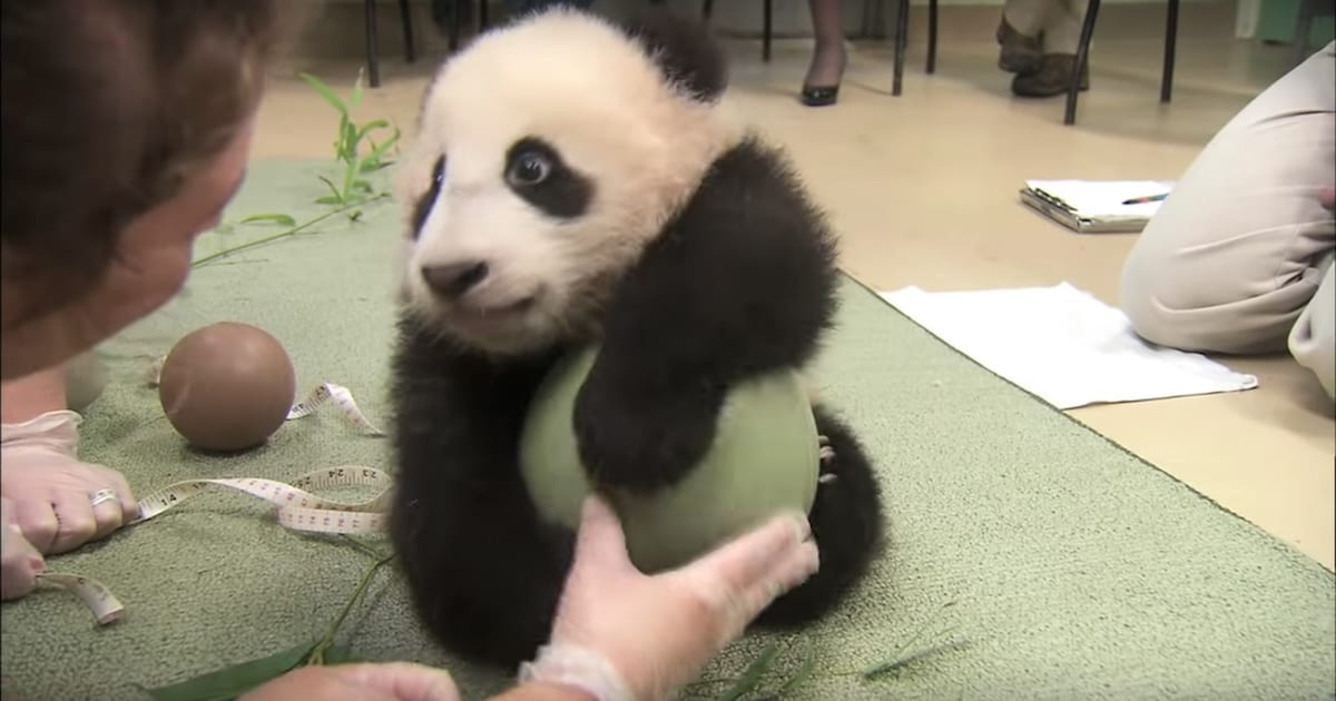 a 1.jpg - Adorable Panda Cub Received New Favorite Toy, Refused To Let Go Of It No Matter What