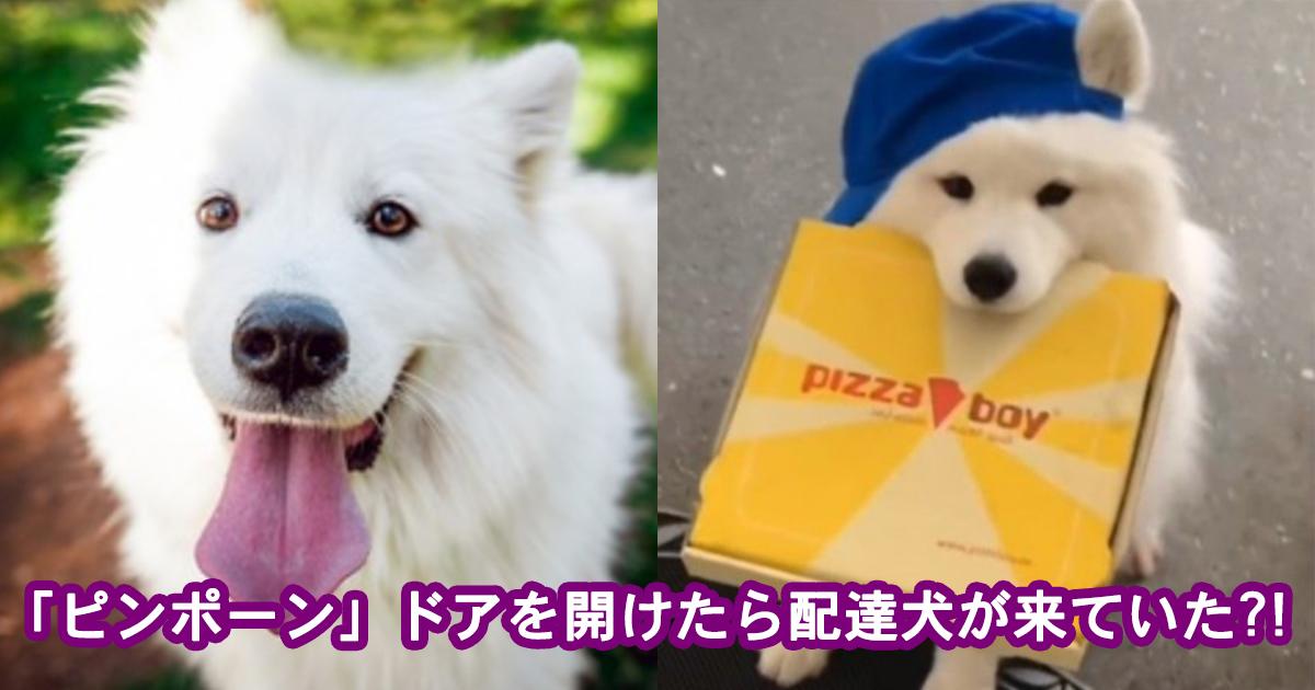 samoedo.jpg - 【超癒し】「ピンポーン」と荷物を届けきたサモエドの配達犬が激カワすぎる!!