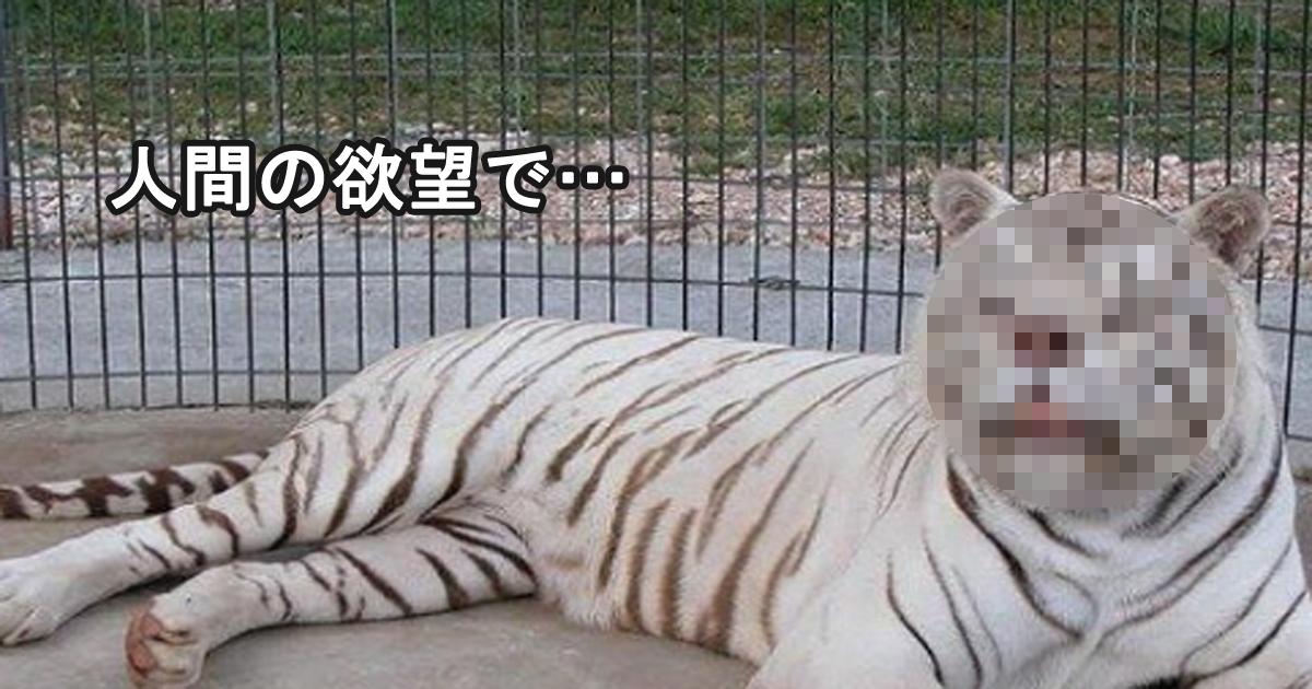 tora 2.jpg - 人間の欲により近親交雑され、障害を持って生まれた白い虎